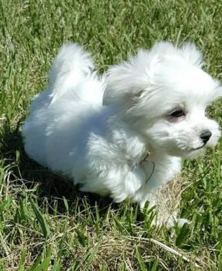 Maltese Puppies Sale | Bozeman, MT #4957 | Hoobly US