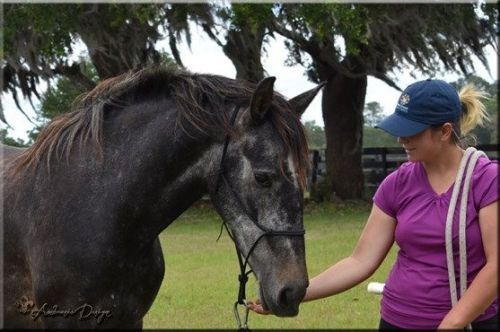 Friesian Horse Horses Sale | Jacksonville, FL #448